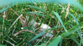 Wildkatze, die innerhalb des starken grünen Grases sich versteckt Stockbilder