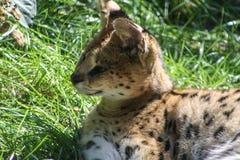 Wildkatze in einem Zoo der wild lebenden Tiere lizenzfreies stockfoto