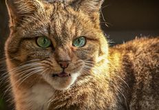 Wildkatze Felis silvestris silvestris lizenzfreie stockfotografie