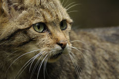Wildkatze (Felis silvestris) Stockfotografie