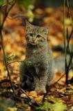 Wildkatze (Felis silvestris) Lizenzfreies Stockfoto