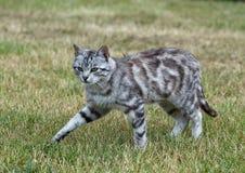 Wildkatze im Hintergrund des grünen Grases am bewölkten Tag, ernste Katze draußen, Katzenleopard, der in das Yard geht Stockfoto