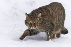 Wildkatze im Schnee Stockfotos