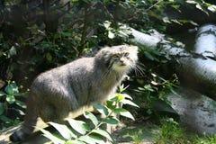 Wildkatze im Zoo stockbild
