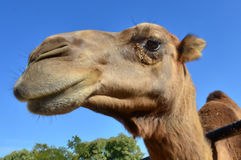 Wildlfe Photos - Camel Stock Image