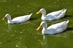 Wildlfe Photos - Duck Stock Photography