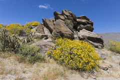 Wildlfowers Blooming in Anza-Borrego State Park, California Stock Photos