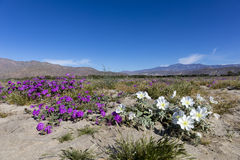Wildlfowers Blooming in Anza-Borrego State Park, California Stock Images