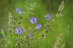 Wildlfowers lilás vívidos fotografia de stock royalty free