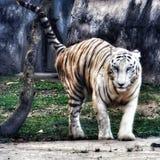 wildlife άσπρη τίγρη η φωτογραφία χτυπά στοκ εικόνες με δικαίωμα ελεύθερης χρήσης