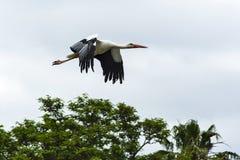 wildlife Белый аист, большая wading птица стоковые изображения rf
