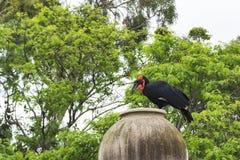 wildlife Ворона Kaffir horned в своей естественной среде обитания стоковое фото rf