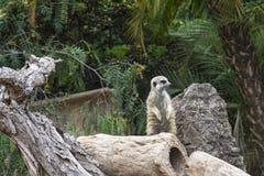 wildlife Суслик стоит на его задних ногах стоковое изображение rf