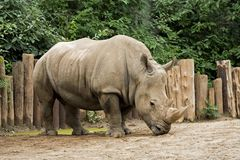 Wildlife. White Rhinoceros Ceratotherium simum at the Louisville Zoo stock photos