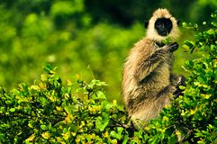 Wildlife. Monkey at Yala National Park Stock Photo