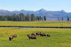 Wildlife. Wild buffalo at Yellowstone park eating grass Royalty Free Stock Image