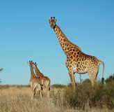 Wildlife. Female Giraffe (giraffa camelopardalis)with two calves in South Africa Stock Photography