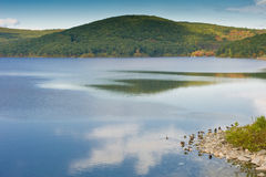 Wildlife. Canadian geese on the water basin Stock Photography