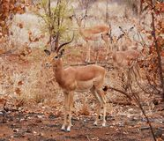 Wildlife. Male Impala Antelope (Aepyceros Melampus) in the Kruger Park, South Africa Royalty Free Stock Photo