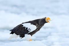 Wildlife action behaviour scene from nature. Fish in bill. Eagle on ice. Winter Japan, snow. Beautiful Steller`s sea eagle, Halia Stock Image