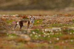 Wildlife action scene from Norway. Arctic Fox, Vulpes lagopus, in the nature habitat. Fox in grass meadow with bloom flowers, Sval Stock Photography
