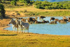 Wildlife in Addo NP. Three Zebras near a pool in Addo Elephant National Park. A group of African Buffalo takes a bath in the big pool. Addo NP is located in stock images