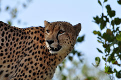 Wildlife in Africa: Cheetah Stock Photography