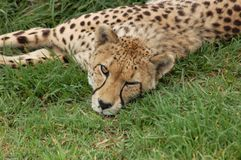 Wildlife in Africa: Cheetah Royalty Free Stock Images