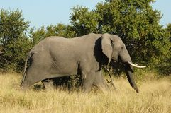 Wildlife: Africa Elephant Stock Photos