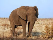 Wildlife Africa: Elephant. An African Elephant (Loxodonta africana) in the Kruger Park, South Africa Stock Photo
