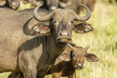Wildlife - African buffalo Royalty Free Stock Images