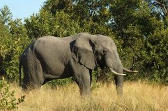 Wildlife: African Elephant. An African Elephant (Loxodonta africana) in the Kruger Park, South Africa Royalty Free Stock Photo