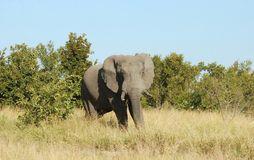 Wildlife: African Elephant Stock Photography