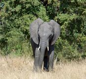 Wildlife: African Elephant Royalty Free Stock Photos