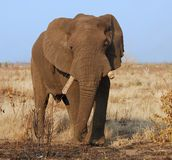 Wildlife: African Elephant. An African Elephant (Loxodonta africana) in the Kruger Park, South Africa Royalty Free Stock Photos