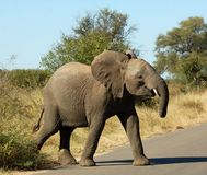 Wildlife: African Elephant. A young African Elephant (Loxodonta africana) in the Kruger Park, South Africa Royalty Free Stock Photography