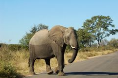 Wildlife: African Elephant. An African Elephant (Loxodonta africana) in the Kruger Park, South Africa Stock Photos