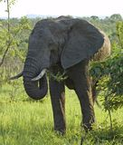 Wildlife: African Elephant Royalty Free Stock Photography