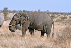 Wildlife: African Elephant Stock Images