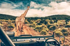 Wildlife african safari. Beautiful wild giraffe, great animal in natural habitat, summer vacation in savannah, eco travel and tourism, South Africa Royalty Free Stock Photos
