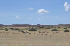 Wildlife on the African Savannah. Zebra and Springbok on the African Savannah Royalty Free Stock Photography