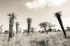 Wildlife Aloes Wilderness Sepia Tone Vintage Stock Photo