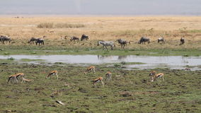 Wildlife in Amboseli marshland Royalty Free Stock Photos