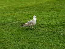 Wildlife animal bird nature seagull grass Royalty Free Stock Images