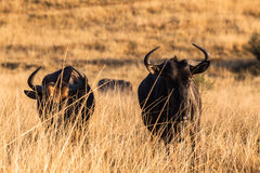 Wildlife Animal Blue Wildebeest Royalty Free Stock Image