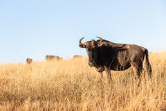 Wildlife Animal Blue Wildebeest Stock Photos