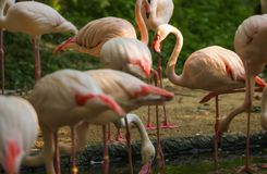 Wildlife Animal, Flamingos are type of wading birds, capable flyers. Flamingos usually stand on one leg while other tucked beneath. Bodies. Flamingos in stock photography