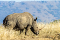 Wildlife Animal Rhino Grass Royalty Free Stock Photography