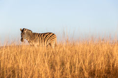 Wildlife Animal Zebra Blue Grass Royalty Free Stock Photo