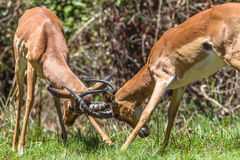 Wildlife Animals Bucks Horns Fight. Impala Buck young males animals in contest fight locking horns in mating season Stock Images